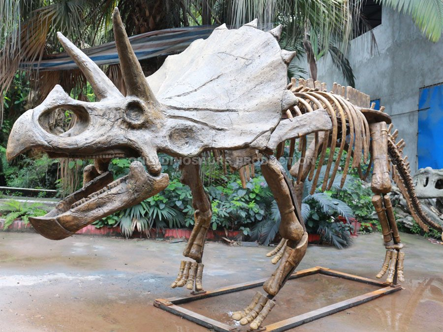 Life Size Triceratops Fossil