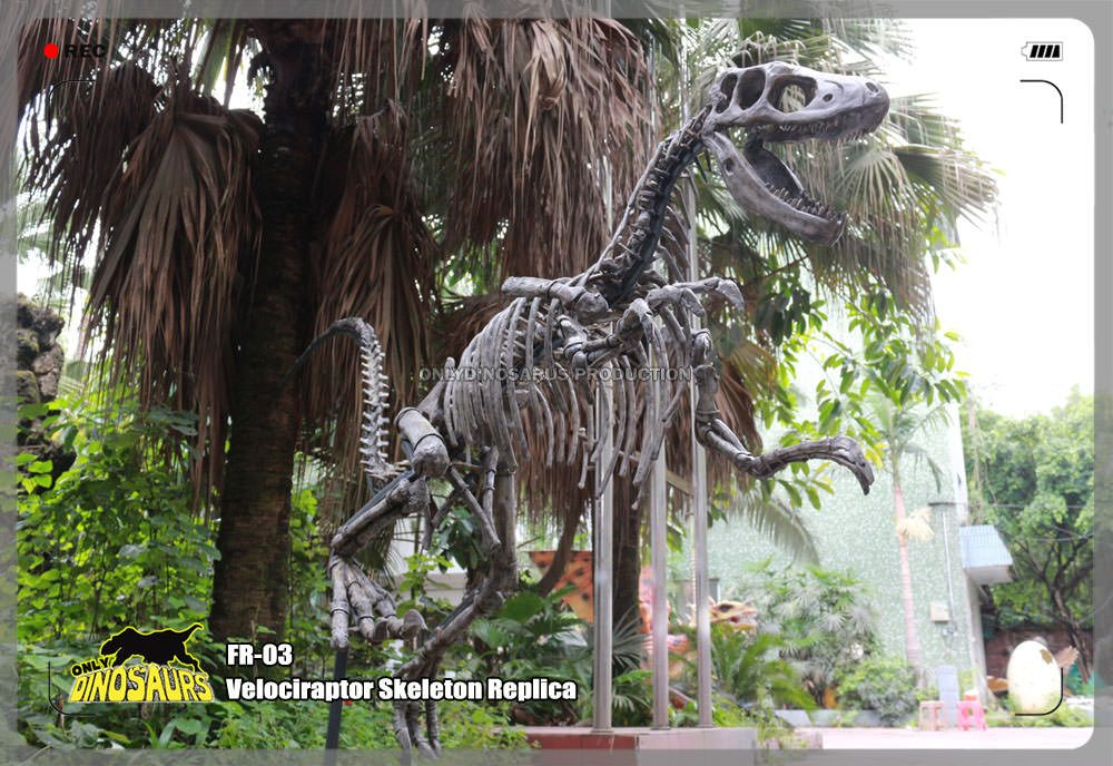 Velociraptor Skeleton Replica