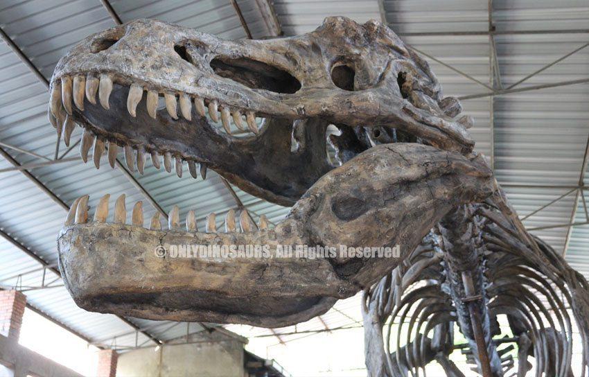 Tyrannosaurus Rex Skull Replica
